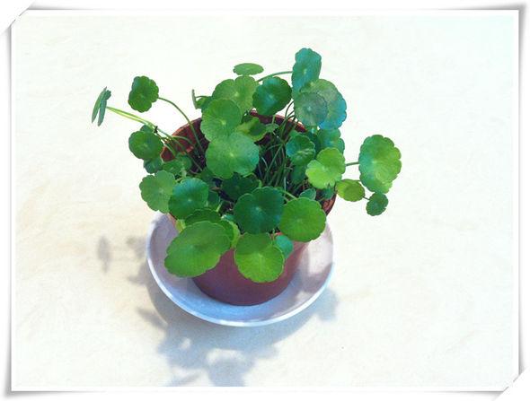 绿色小盆栽,铜钱草_monica食尚煮易的美食日记