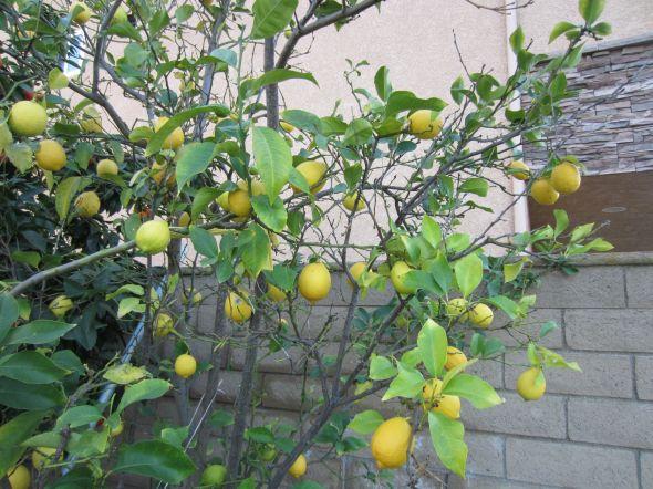 柠檬树,柠檬和橙子的嫁接